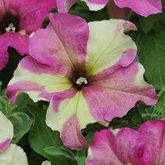 Petunia Seeds|128 varieties|Packed for 2013|Annual Flower Seeds