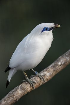 Bali mynah by Official San Diego Zoo, via Flickr.com