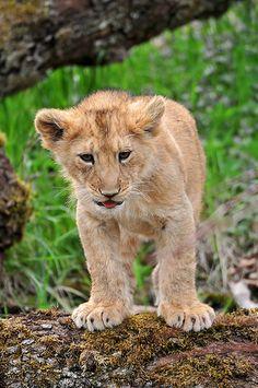 Asian Lion Cubs