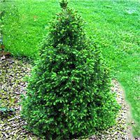 Dwarf Alberta Spruce is a miniature Spruce tree. This would be a delightful choice as a novelty planting in your perennial bed or as a cont. Dwarf Trees For Landscaping, Front Yard Landscaping, Landscaping Ideas, Landscaping Borders, Mulch Landscaping, Dwarf Evergreen Trees, Dwarf Alberta Spruce, Trees For Front Yard, Dwarf Shrubs