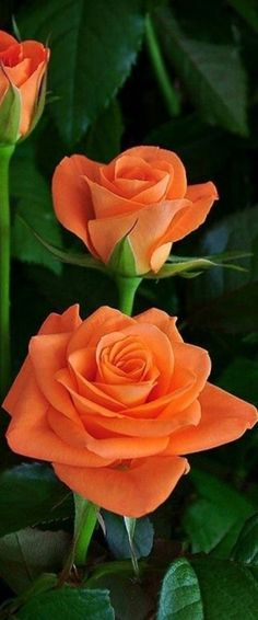 Good Morning Roses, Good Morning Images, Morning Pictures, Beautiful Roses, Pretty Flowers, Make Ready, Kinds Of Salad, Healthier You, Potpourri