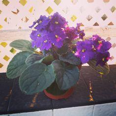 Under the morning lights   #morning #instaplant #plantnerd #africanviolet #saintpaulia #ionantha #plantparenthood