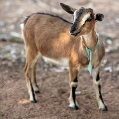 What's a four-letter word that means nutrition, health, income and investment? Goat.