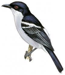 Black-backed Puffback (Dryoscopus cubla)