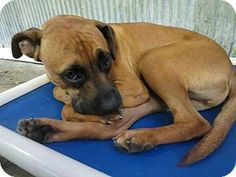 Pictures of Jake a Boxer Mix for adoption in Acworth, GA who needs a loving home.