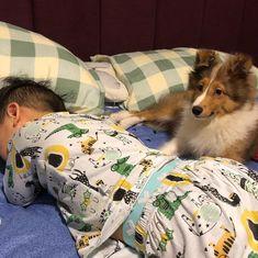 Watching over my brother when hes asleep   @foeshitzme #sheltie #shetlandsheepdogs #shetlandsheepdog...
