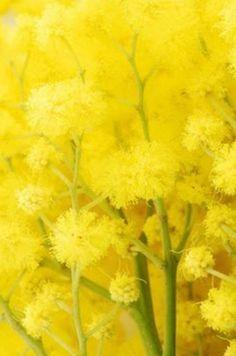 mimosa ……réepinglé par Maurie Daboux۰⋱‿✿╮