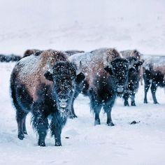 bison sur JusquOboutdumonde