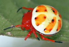 This rare orb-weaver spider lives in the upper Amazonian basin of Peru, Ecuador, Colombia, and Brazil. It greatly resembles a Koopa Shell from Super Mario Bros.