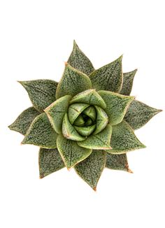 Echeveria purpusorum, native to slopes of Puebla, Mexico, forms a rigid rosette of nearly-triangular dark green leaves with reddish-brown markings and a silvery overlay. Excellent as a windowsill plant. In …