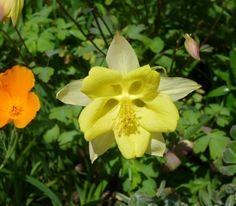 Yellow aquilegia - never seen one this colour before!