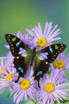The Purple Spotted Swallowtail (Graphium weiskei), which is found only in the highlands of New Guinea, is a butterfly of the swallowtail family. Beautiful Bugs, Beautiful Butterflies, Beautiful Flowers, Simply Beautiful, Butterfly Kisses, Butterfly Flowers, Flowers Garden, Butterfly Mosaic, Lavender Flowers