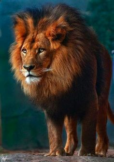 The King of the Animal Kingdom Beautiful Cats, Animals Beautiful, Cute Animals, Wild Animals, Jungle Animals, Animal Kingdom, Gato Grande, Lion Of Judah, Tier Fotos