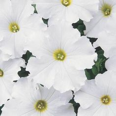 Petunia Dreams White Hybrid : Egmont Seed Company Ltd, Online seed sales All Flowers, Growing Flowers, Planting Flowers, White Flowers, Beautiful Gardens, Beautiful Flowers, Containers For Sale, Container Sales, Types Of Plants
