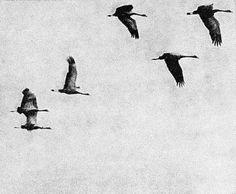 Taidelainaamo - Milja Laurila: Sarjasta Elämän ihmeet: Lintujen muutto