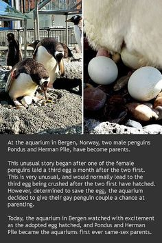 The two birds have previously fathered chicks with female penguins. However, they both left their female lovers and became an item. Penguins' chicks are often brought up by two males or two females. http://crossdreamers.tumblr.com/post/90580666916/bisexual-male-penguins-adopt-egg-and-hatch-chick-at