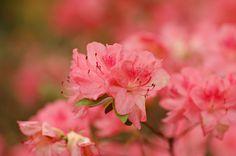 'Pink Blaauw' Rhododendron