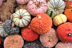 People aren't settling for a plain, dull-orange pumpkin from their local grocery store. Check out our guide to the best pumpkin varieties to decorate your home and yard this fall. Green Pumpkin, Pumpkin Colors, Best Pumpkin, Pumpkin Pumpkin, Pumpkin Garden, Pumpkin Vegetable, Pumpkin Carving, Vegetable Garden, Fall Pumpkins