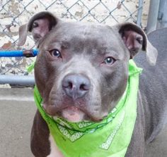 ZEUS - A1097696 - - Manhattan  Please Share:TO BE DESTROYED  11/30/16 **NEW HOPE RESCUE ONLY** A volunteer writes: I was hesitant to take Zeus out for a walk but his beauty and nice kennel presentation overpowered my prudence… He came in pretty upset and his former owner told us that he was not always nice to strangers. Zeus accepted gladly my leash and off we went to the yard. He pulls slightly on the leash and does his business on the way. He absolutely loves treats