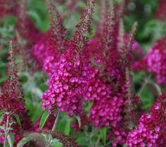 CranRazz Butterfly Bush buddleia x cranrazz CranRazz sports vibrant cranberry to raspberry red color throughout the summer flowering period. Large full panicles reaching up to 8 inches long and flower