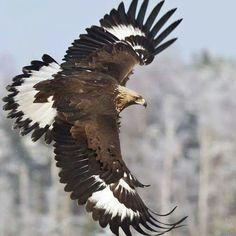 Golden Eagle (Aquila chrysaetos) Juvenile winter) Golden Eagle in flight. Eagle Images, Eagle Pictures, Bird Pictures, All Birds, Birds Of Prey, Pretty Birds, Beautiful Birds, Eagle In Flight, Eagle Art
