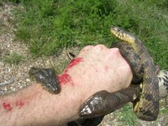 Snakes In Mississippi Western Cottonmouth Agkistrodon - Poisonous snakes in mississippi