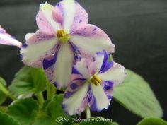 African Violet Chimera Moonbeams   eBay Moonbeams (6809) Eyerdom:  Single chimera pink/white stripe, blue fantasy.  Light green, pointed, quilted, glossy.  Standard