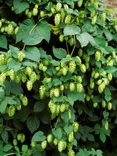 It might be best known as a key beer ingredient, but the hop vine brings good taste to a #garden, too. #landscaping