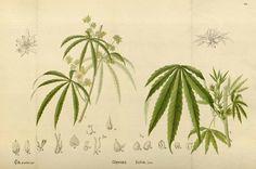 83008 Cannabis sativa L. / Millspaugh, C.F., American medicinal plants, vol. 2…