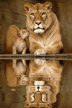 little cub with his lioness mother... he can be safe with her.