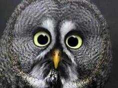 Strix nebulosa - with big eyes Animal Captions, Funny Animal Photos, Funny Animal Memes, Funny Animals, Cute Animals, Funny Pictures, Animal Funnies, Owl Pictures, Zoo Animals