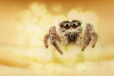 pretty please. pretty please with a cherry on top! I pin a spider on my cute little animal board. Spider by Ömer Alp Evirgen, via Jumping Spider, Cute Little Animals, Spiders, Beautiful Birds, Insects, Dragonflies, Jumpers, Bees, Butterflies