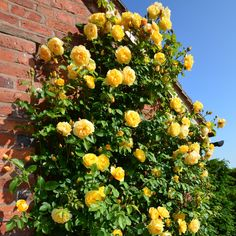Climbing Roses - David Austin Roses : Highly Recommended by David Austin