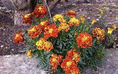 Dávam tieto rastliny do pohára s olejom! Sú veľkou pomocou pre každého človeka a radím to každému - mysmezeny.sk Korn, Life Is Good, Detox, Herbalism, Diy And Crafts, Health Fitness, Bloom, Gardening, Flowers