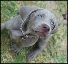 A Weimaraner pup. Those blue eyes though! Cute Puppies, Cute Dogs, Dogs And Puppies, Doggies, Baby Dogs, Labrador Noir, Labrador Retriever, Baby Animals, Cute Animals