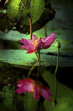 Mirrored Waterlily