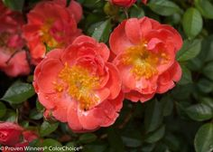 Oso Easy Mango Salsa rose, can be found at winter greenhouse