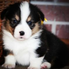 Gatsby the Tri-Colored Corgi Puppy #Corgi #Puppy #Corgipuppy
