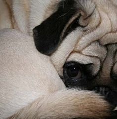 Aw, this captures all the beauty of a pug! The forehead wrinkles, the curly tail, the little bitty nose and the soulful eyes...