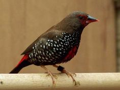 Painted Firetail Finch (Emblema pictum) is native to Australia and can be found in arid regions of western Queensland, Northern Territory, Western Australia and South Australia. It inhabits rugged spinifex country such as gorges, rocky areas, and in dense scrub.
