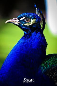 El pavo real- Coloca una imagen o representación de un pavo real en el Sur de tu casa u oficina, activarán tu fama y la de tu empresa