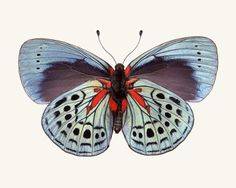 Butterfly Photo No. 12 - Callithea philotima (underside) - Charles Darwin Butterfly Print