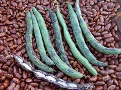 Pole Bean Aunt Bea's Snap Bean DAH813 (White) 25 Organic Heirloom Seeds by David's Garden Seeds David's Garden Seeds http://www.amazon.com/dp/B017HPVH5C/ref=cm_sw_r_pi_dp_2RYIwb1N501YH