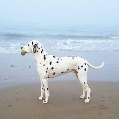 #dalmatian   #dalmatiansofinstagram   #dalmatians_of_instagram   #dalmata   #dalmatians   #dalmatianspotlight   #dog   #dogsofinsta   #dogsofinstagram   #igdogs   #dogofinstagram   #beachdog    #dog_features   #paws   #lovedog   #dogs   #dogoftheday   #myfriend   #mydog   #spots   #bestfriends   #myfriend   #mydogiscutest   #dog   #doglovers   #doglife   #pets   #dalmatian_feature   #pets_of_instagram   #dogpic
