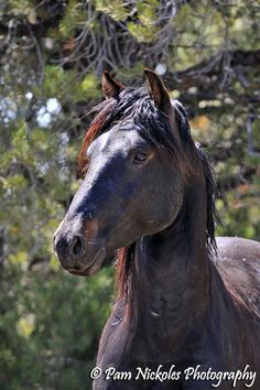 Friesian horse stallion black baroque