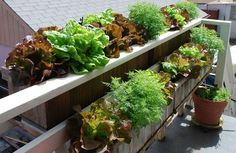 Lettuce is easy to grow in window boxes or containers.  A deeper root zone means you don't have to water quite as frequently.  To learn more about growing lettuce, see http://www.grow-it-organically.com/growing-lettuce.html.
