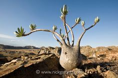 Elephants Foot Plant (Pachypodium rosulatum var. gracilis) on sandstone outcrop. Isalo NP, southern Madagascar.