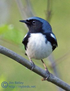 ノドグロルリアメリカムシクイ  Black-throated blue warbler (Setophaga caerulescens, Dendroica caerulescens)