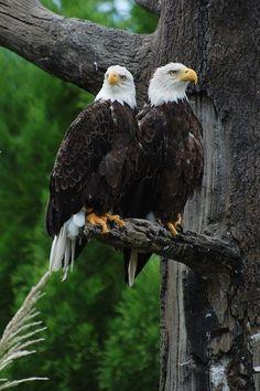 Bald Eagles - Águia Careca