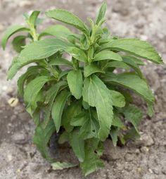 Stewię w ogrodzie należy sadzić na stanowisku słonecznym i stosunkowo ciepłym